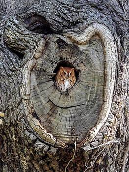 Terry Shoemaker - Screech Owl in Tree