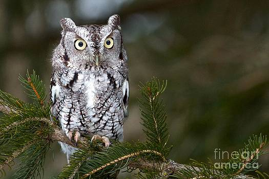 Screech Owl by Mike Mulick