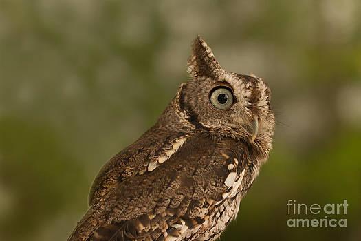Paul Rebmann - Screech Owl