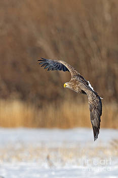 Sea Eagle Rising by Natural Focal Point Photography