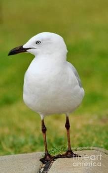 Sea gull 01 by Bobby Mandal