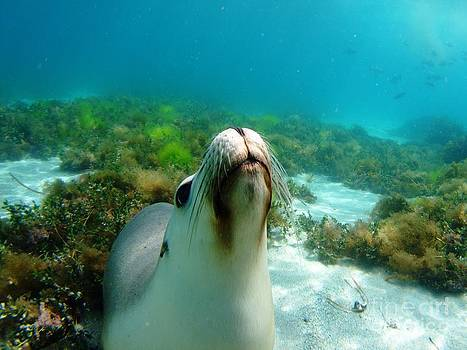 Sea lion bubble blowing by Crystal Beckmann