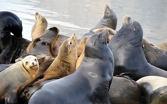 Sea Lion Colony by AJ  Schibig