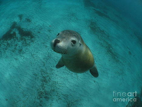 Sea Lion Eerie Blue by Crystal Beckmann