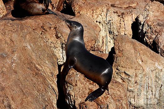 Sea Lion Relaxing on Monterey Bay Rocks by Susan Wiedmann