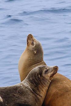 Sea Lions by Jill Bell