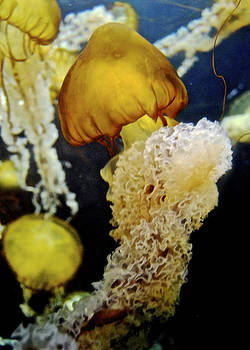Sea Nettle Beauty by Lisa Merman Bender