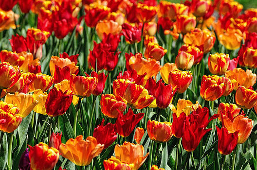 Sea of tulips II by Dick Wood