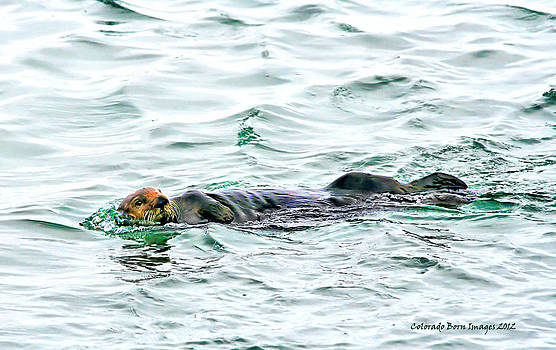 Sea Otter in Northern Cali by Rebecca Adams