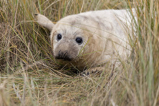 Sea Pup by Gillian Dernie