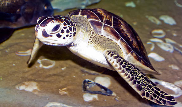 Sea Turtle by Greg Reed