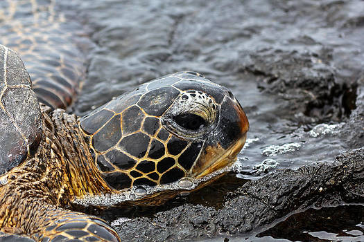 Sea Turtle Puako Tidepools by Rick Starbuck