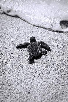 Sea Turtle by Sebastian Musial
