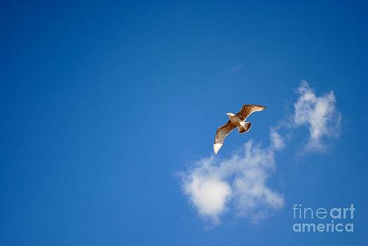 Seagull and blue sky by Kamgeek Photography