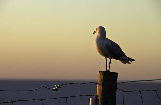 Seagull at Dusk by Penny Roberts