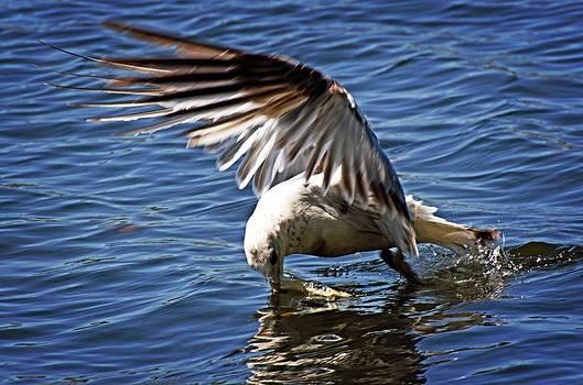 seagull Catch by Cheryl Cencich