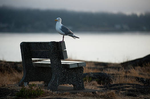 Seagull  by Colin Sands