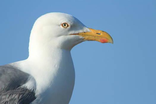 Seagull  by Diane Rada
