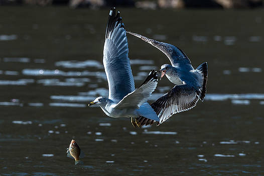 Seagull drops Fish by Mike Watts