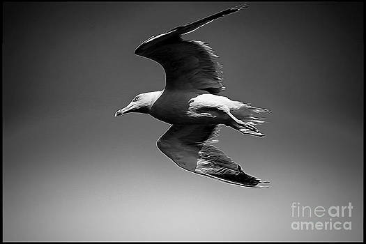 Seagull flying higher  by Stefano Senise