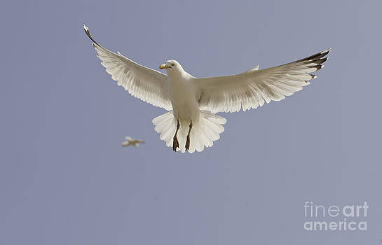 Seagull Hovering by Lesley Rigg