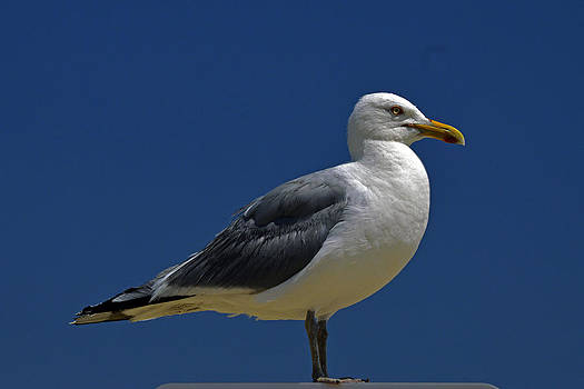 Bill Swartwout Fine Art Photography - Seagull Iconic Beach Bird