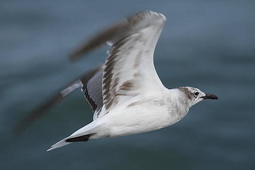 Seagull in Flight 12 by Cathy Lindsey