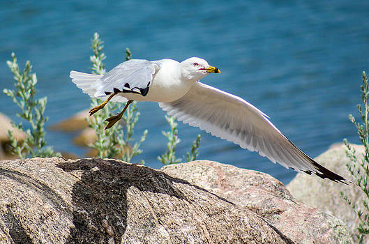 Seagull In Flight by Christy Patino