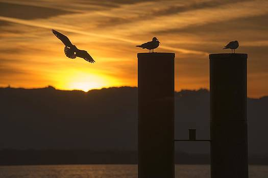 Seagull in the Sunset by Chevy Fleet