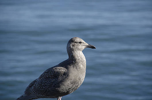Pravine Chester - Seagull in thought