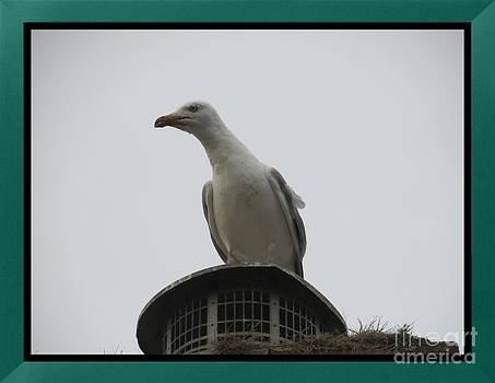 seagull Looking out  by Sylvia Howarth