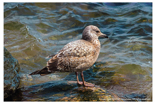 Seagull on a Rock by Ed Hernandez