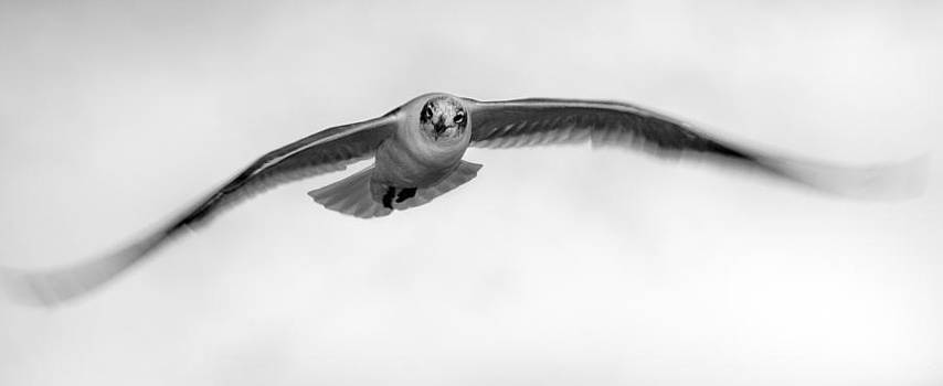 Seagull by Phong An