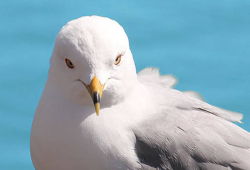 Seagull Posing by James Hammen