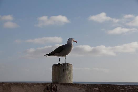 Seagull Showcase by Jeff  Jacobson