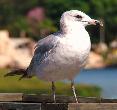 Seagull by Van Ness