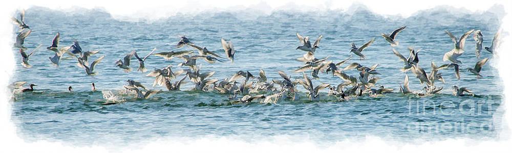 Dan Friend - Seagulls in a feeding fenzy