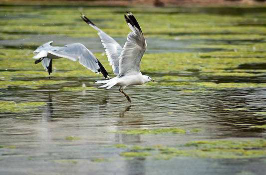 Eric Rundle - Seagulls Taking Flight
