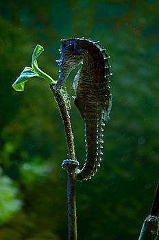 Seahorse and leaf by Charles Van Riper