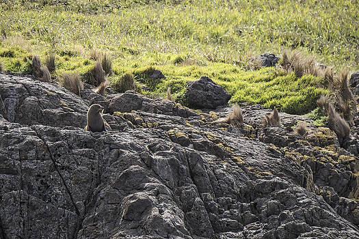 Steven Ralser - Seal - Montague Island - Austrlalia