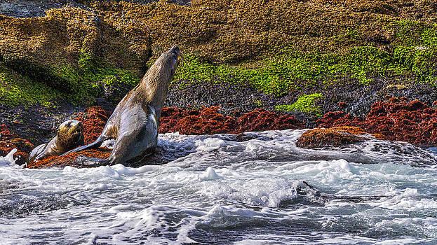 Steven Ralser - Seals - Montague Island - Australia
