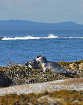 Seals on Duck Island of the Shoals by Rick Frost