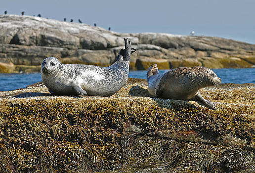 Seals On The Shoals by Rick Frost