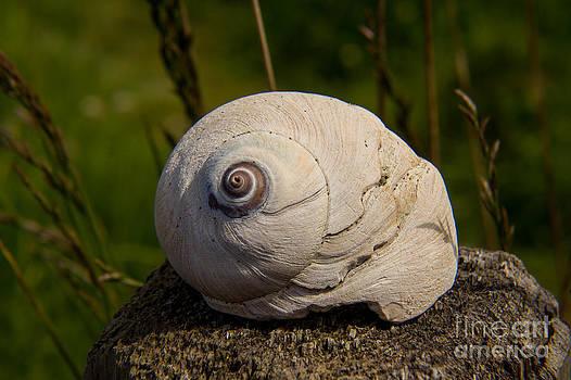 Seashell by Deanna Proffitt
