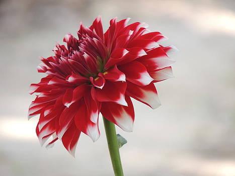 Seasonal Flower-13 by Ramesh Chand