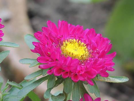 Seasonal Flower-6 by Ramesh Chand