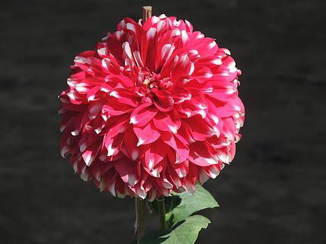 Seasonal Flower-9 by Ramesh Chand