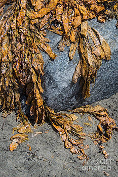 Seaweed on the rock by Cindy Tiefenbrunn