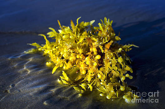 SeaWeed Yellow by Jerry Hart