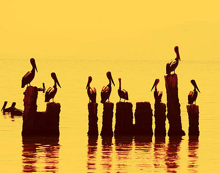Secret Life of Pelicans by Mike Trueblood